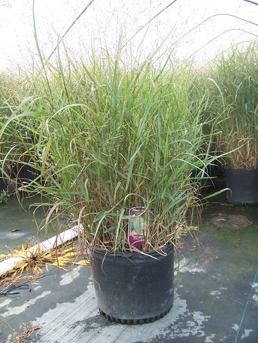 Panicum Heavy Metal 3 gal | by Johnson Farms