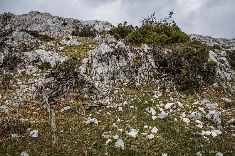 Raíces aéreas en los matorrales de las crestas de Ollide