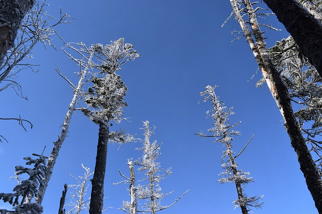 雪の枯れ木