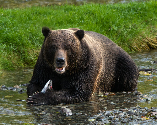 Grizzly Bear with Salmon | by Dawn T