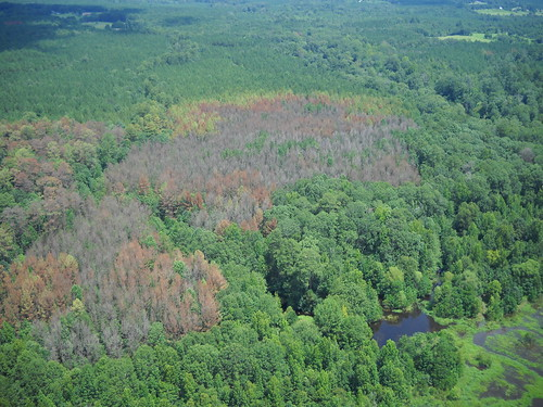 Aerial photography showing trees damaged by southern pine beetles