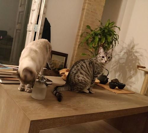 Anubis, bellezón de gato cruce con Mau Egipcio muy activo, nacido en Mayo´17, en adopción. Valencia. ADOPTADO. 38481414215_70e57b7375