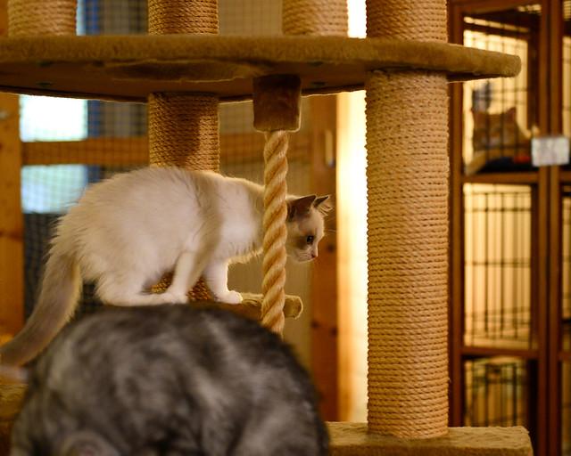 Gatos saltando y jugando en el Nekorobi Cafe del barrio de Toshima