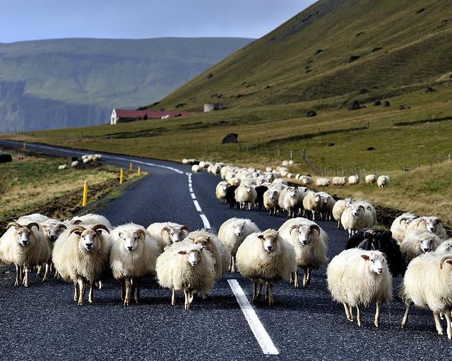 Ovejas caminando por la carretera