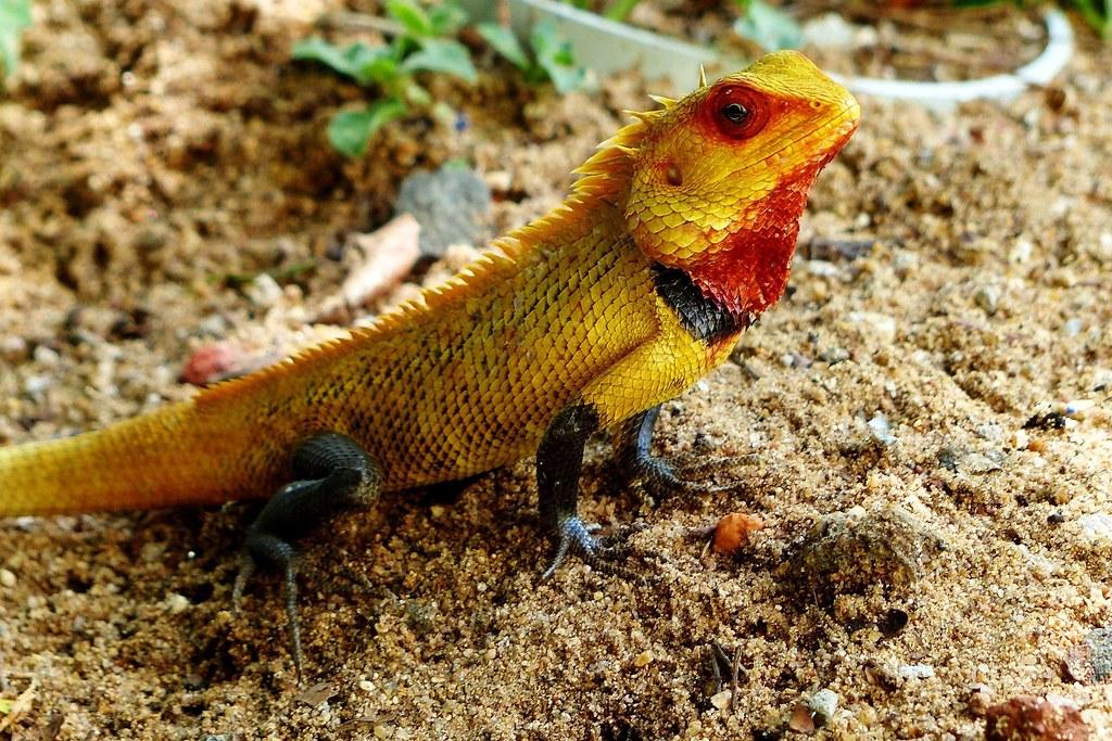 calotes oriental garden lizard my backyard by forest tks 61m views - Garden Lizard