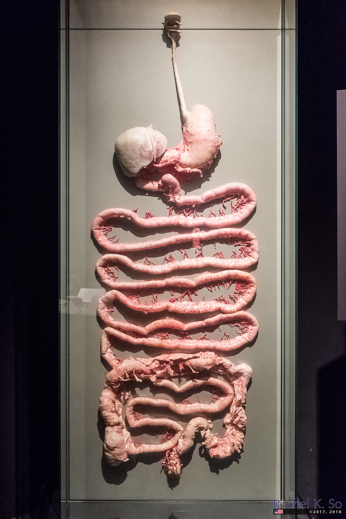 Digestive Tract  Body Worlds Pulse  California Science Cen