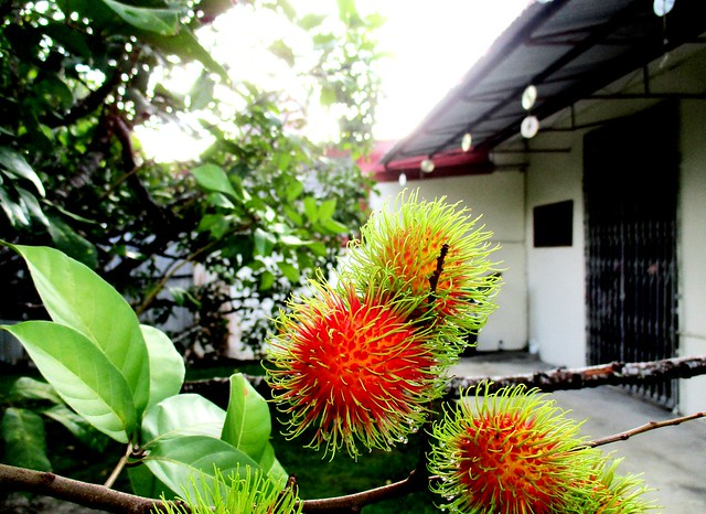 My rambutan tree