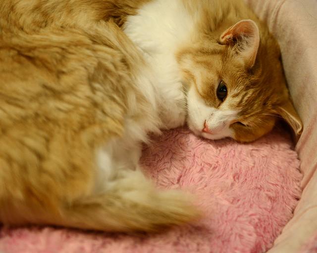 Gato durmiendo en el Neko Café que estuvimos en Japón