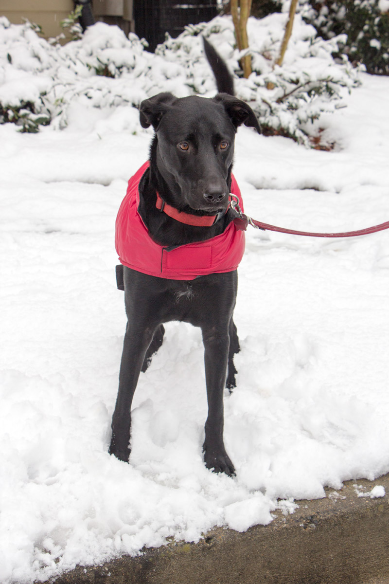 Black Lab Shepherd Mix with a Red Coat in the Snow