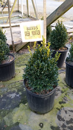 Buxus Green Mt. cone 3 gal. 12-15 | by Johnson Farms