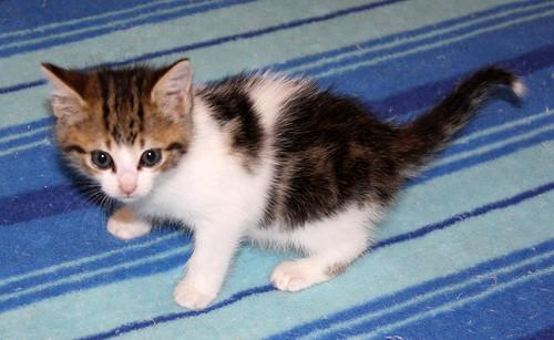 Alina, gatita blanca y parda dependiente y dulce nacida en Noviembre´17, en adopción. Valencia. ADOPTADA. 39139336822_72015c2beb
