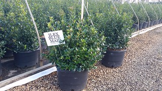 Ilex Blue Maid 7 gal 24-30 | by Johnson Farms