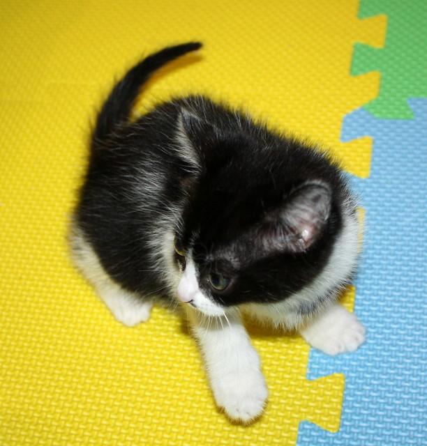 Alice, gatita blanquinegra monisima y dulce nacida en Noviembre´17, en adopción. Valencia. ADOPTADA. 38289732105_8931988ddd_z