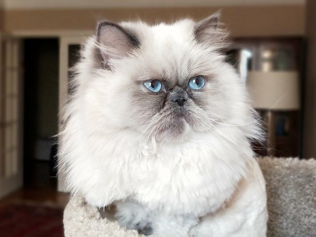 Himalayan Cats Flickr