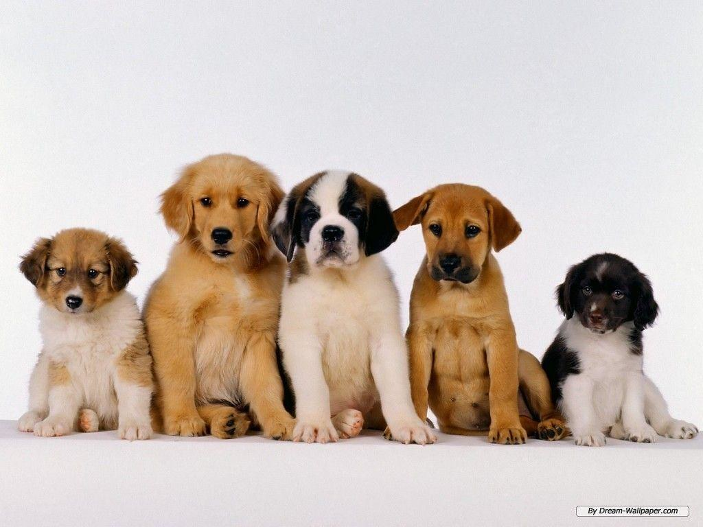 puppies free hd wallpapers and backgrounds download (32) | flickr