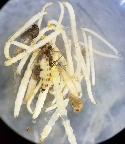 fly larvae, pupae, and adults in ethanol