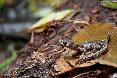 Wandering Salamander (Aneides vagrans) | by Chad M. Lane