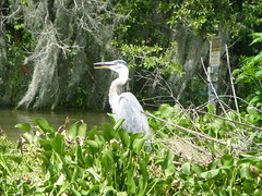 Heron in Mandalay National Wildlife Refuge