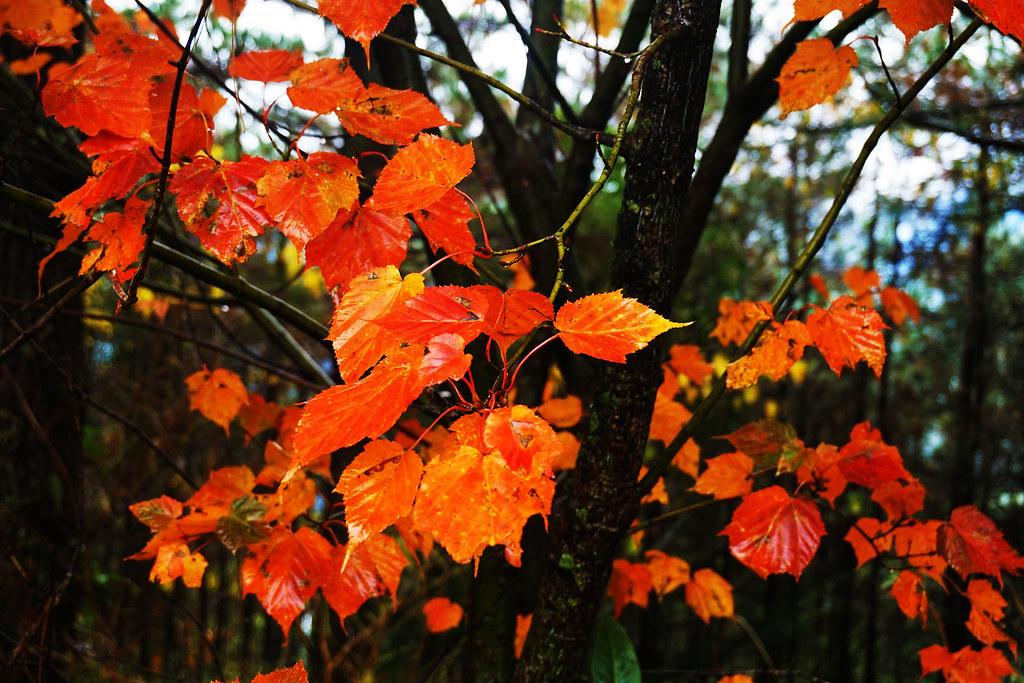 深秋。楓紅