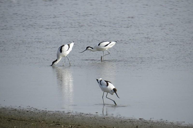 造訪成龍濕地的黑頭白䴉。來源:成龍濕地三代班,http://wetlandcenter.blogspot.tw/2015/12/blog-post_23.html