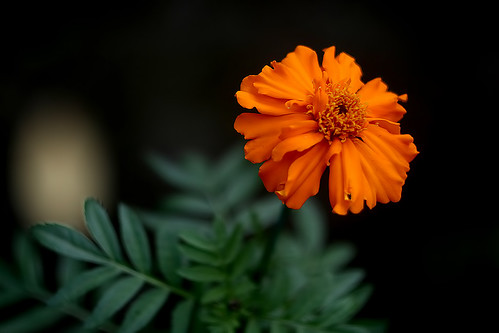 Marigold | by pkbhat_20032003