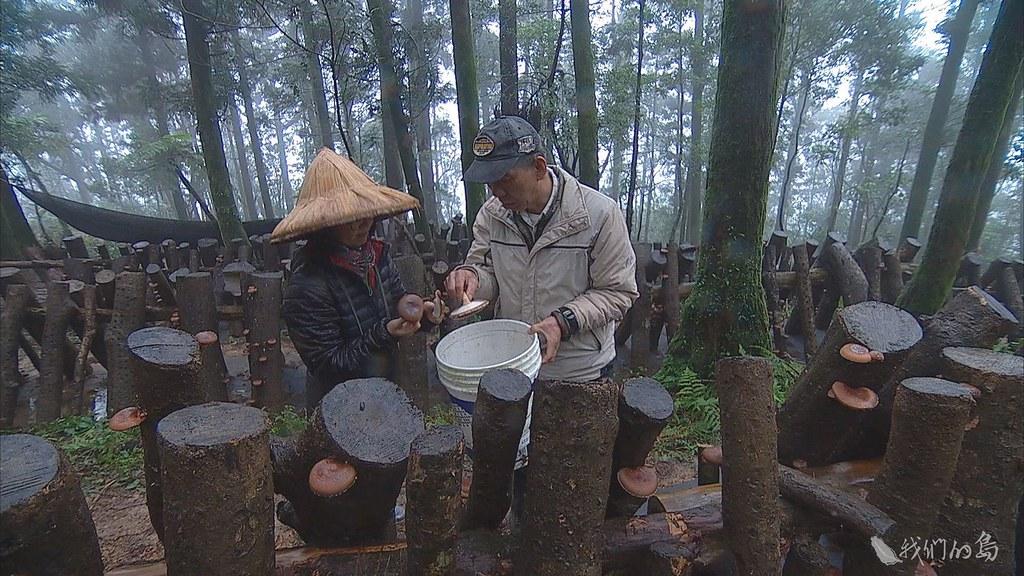 941-2-42呂崇維在泰平里山頭家族土地,種下四十五公頃的樹。並利用疏伐下來的木頭,種植段木香菇。