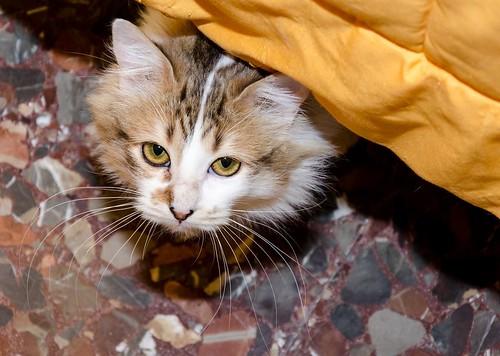 Marlène, gatita cruce Angora blanquiparda dulce y juguetona esterilizada nacida en Julio´17, en adopción. Valencia. ADOPTADA. 25596243047_b762347087