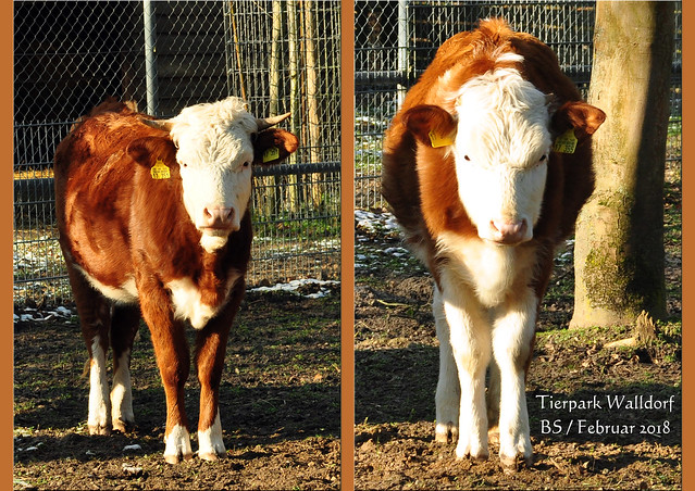 Tierpark Walldorf im Februar 2018 / Foto: Brigitte Stolle - Junge Rinder
