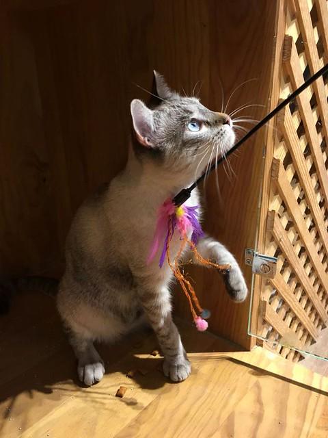 Mambo, gato siamés tabby extrovertido y bueno esterilizado, nacido en Febrero´17, en adopción. Valencia. ADOPTADO. 39844954651_7178a63e95_z