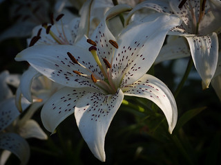 White lily | by Thomas Backa
