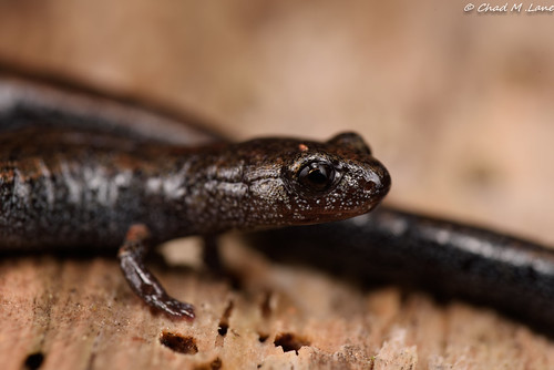 Black-bellied Slender Salamander (Batrachoseps nigriventris) | by Chad M. Lane