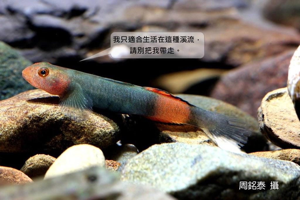 3_紅鰭韌鰕虎(Lentipes sp.)(攝影:周銘泰)