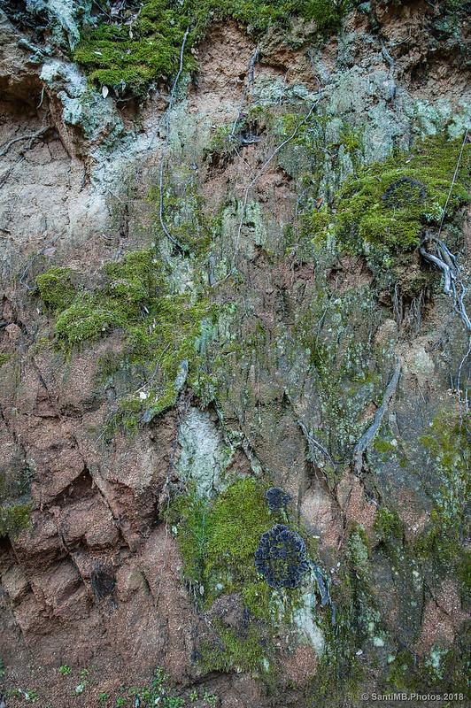 Musgo y líquenes en la falda norte del Turó de Montsoriu