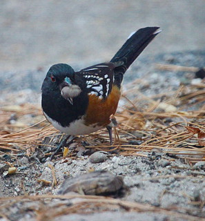 Towhee | by *dxd*