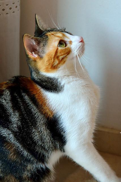Freya, guapísima y activa gata tricolor jaspeada tabby esterilizada nacida en Mayo´16 en adopción. Valencia. 39764222571_6af94dc112_z
