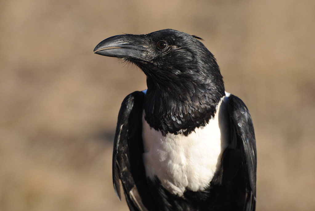 Quill The African Pied Crow Nature S Educators