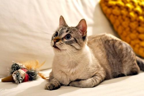 Mambo, gato siamés tabby extrovertido y bueno esterilizado, nacido en Febrero´17, en adopción. Valencia. ADOPTADO. 40200125741_049fd1dedf