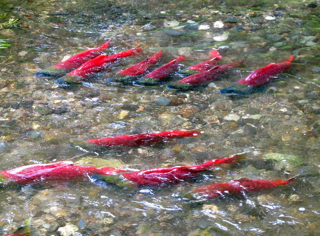 Terms Of Service >> Spawning Sockeye Salmon   Sockeye salmon migrate up a