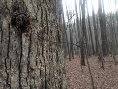 Sugar Hill Mining Camp - Landmark Tree Wire