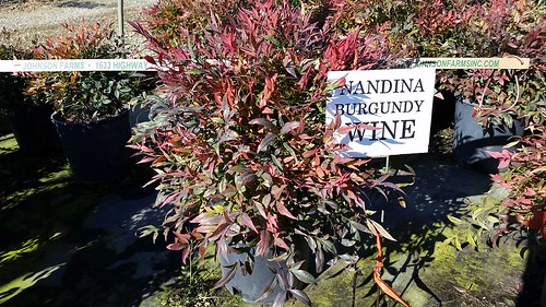 Nandina Burgundy Wine 2 gal 12-15 | by Johnson Farms