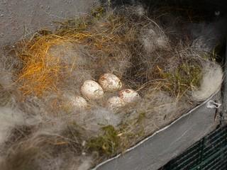 nido di fringuello con uova