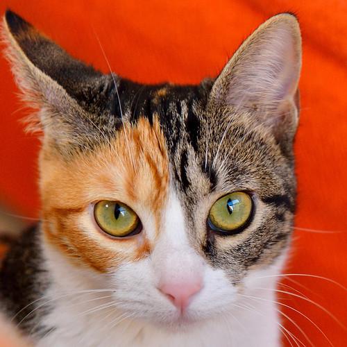 Freya, guapísima y activa gata tricolor jaspeada tabby esterilizada nacida en Mayo´16 en adopción. Valencia. 25892287768_60bc2d43c2