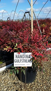 Nandina Gulfstream 3 gal. 15-18 | by Johnson Farms