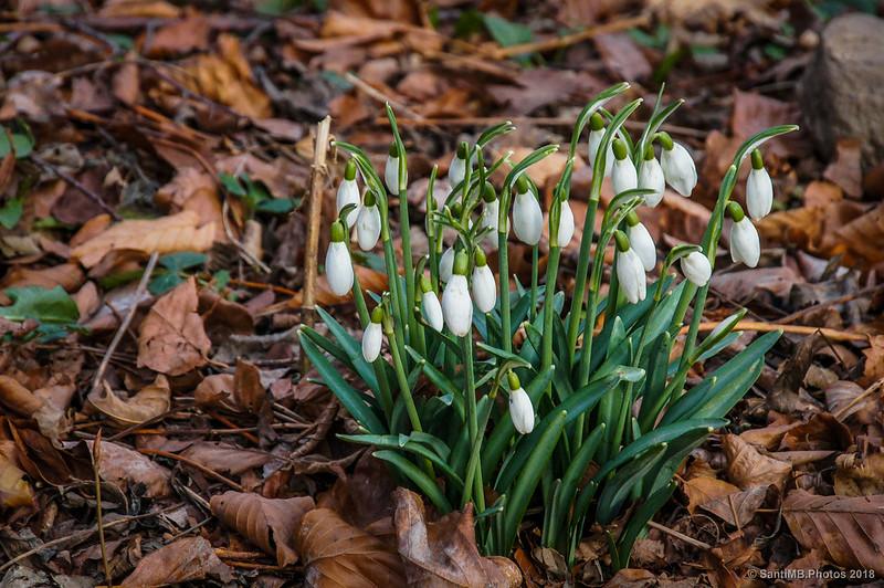 Campanillas de invierno o Galanthus nivalis