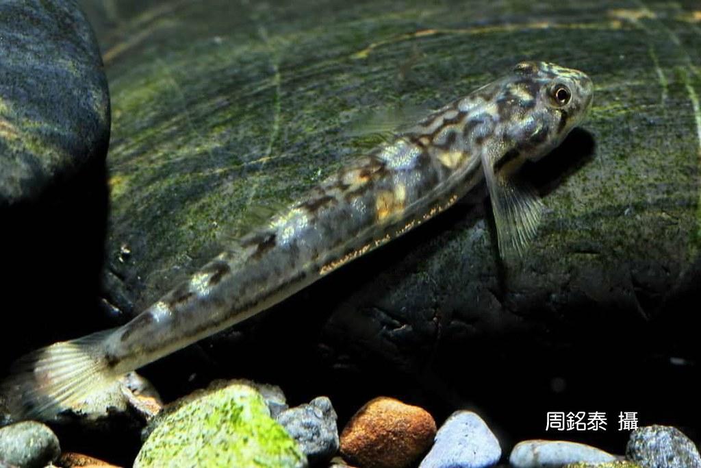 5_韌鰕虎雌魚(Lentipes armatus)(攝影:周銘泰)