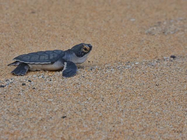 Cría de tortuga marina en Praia Grande (Isla de Príncipe, Santo Tomé y Príncipe)