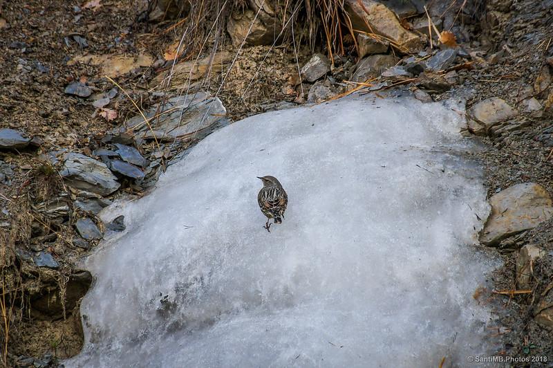 Acentor alpino trepando sobre hielo en la Vía del Nicolau