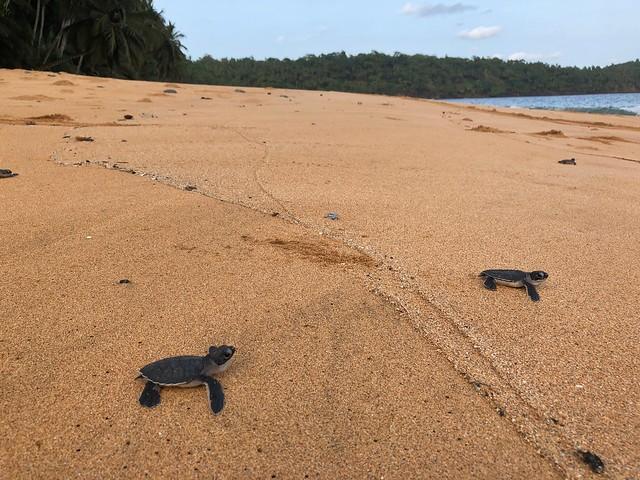 Crías de tortuga marina dirigiéndose al oceáno nada más romper el cascarón (Praia Grande, Príncipe)