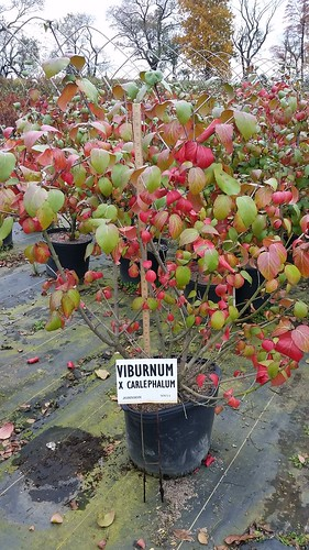 Viburnum Carlcephalum 7 gal 30-36 | by Johnson Farms