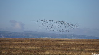 Another flock of Lapwings,Parkgate, Neston,Wirral | by Robbob 2010